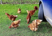 12th Nov 2020 - Mobbed by Chickens!