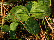 12th Nov 2020 - clover with dewdrops
