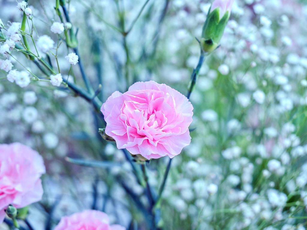 Carnation. by tonygig