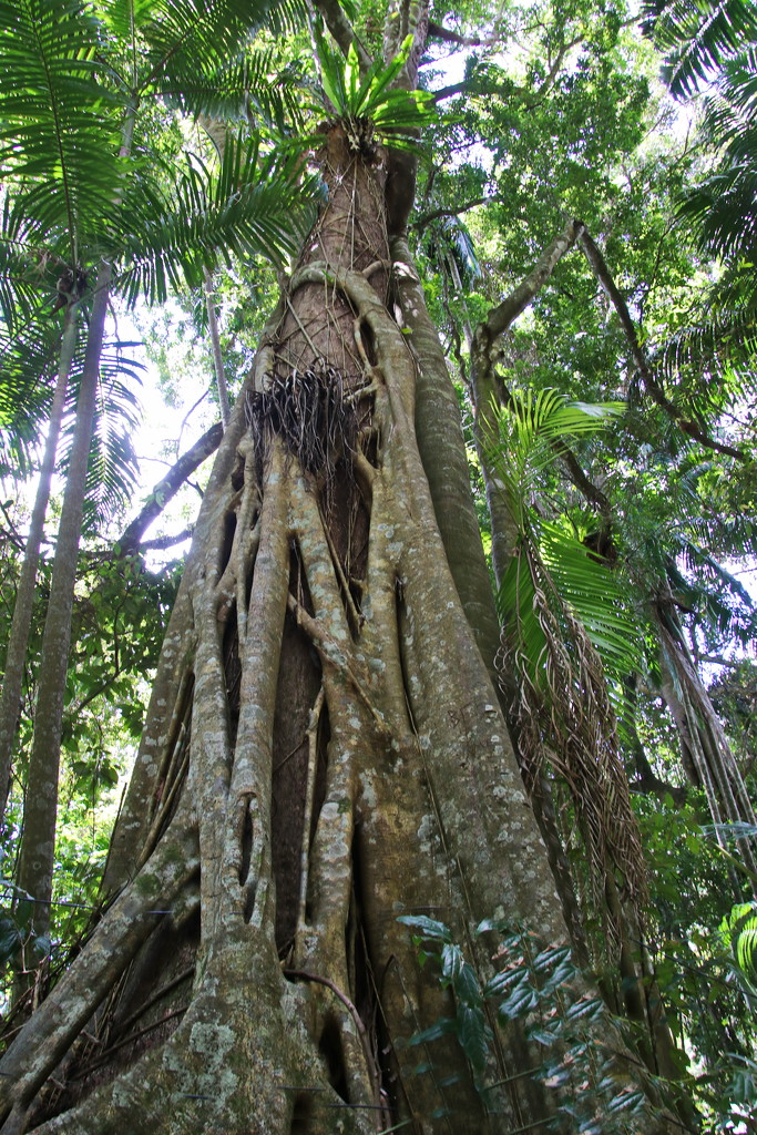 All Hail the Strangler Fig  by terryliv
