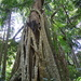 All Hail the Strangler Fig