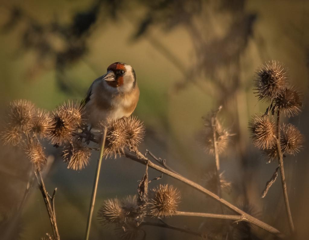 Goldfinch by ilovelenses