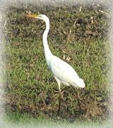 13th Nov 2020 - white heron
