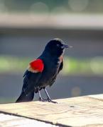 12th Nov 2020 - Mr. Red-winged blackbird