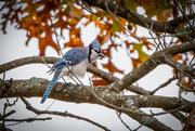 12th Nov 2020 - Blue Jay
