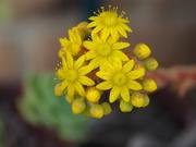 13th Nov 2020 - Succulent in flower