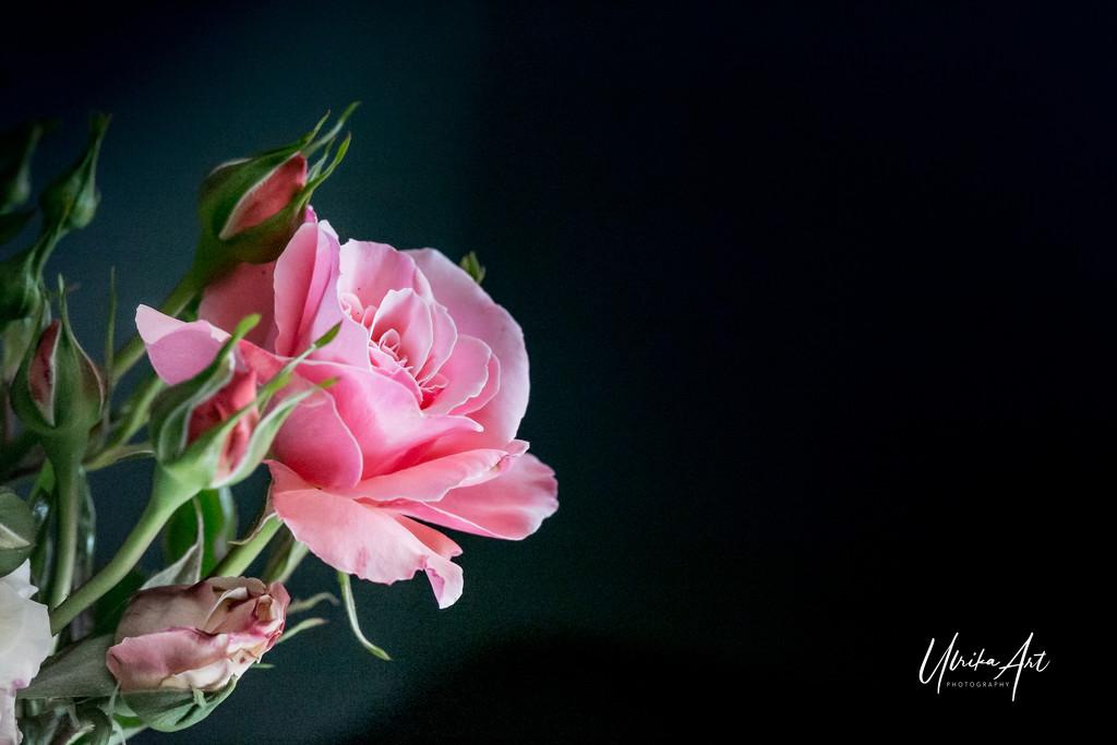 pink rose by ulla