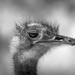 Ostrich! by pusspup