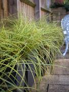 13th Nov 2020 - Ornamental grasses