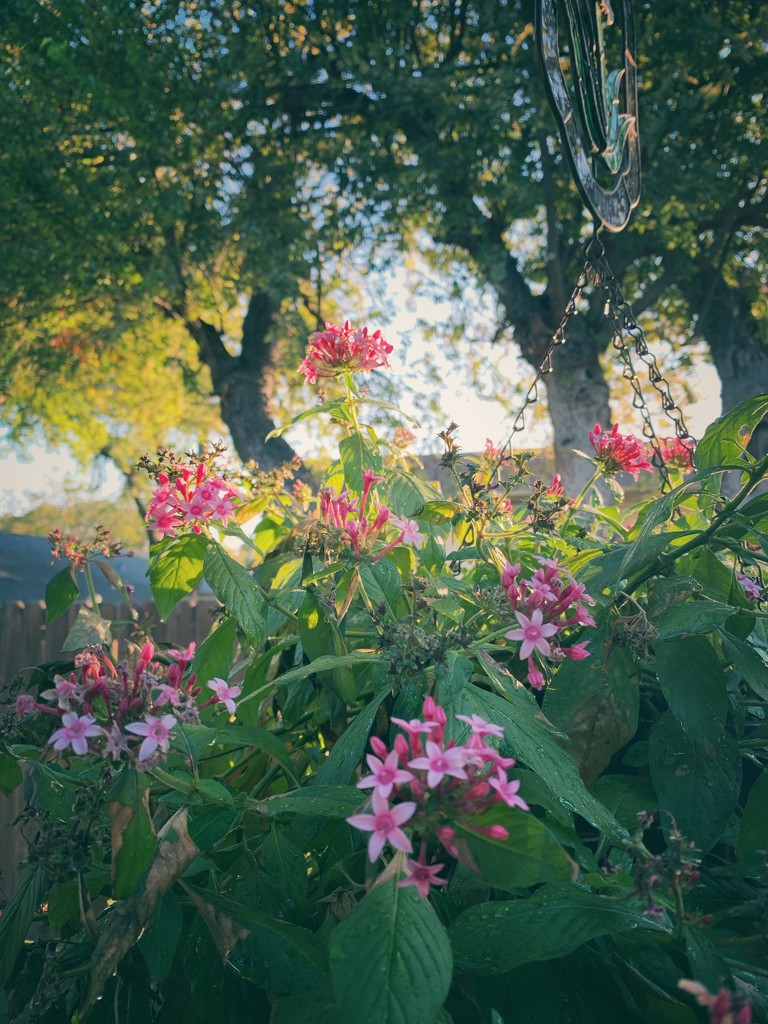 My Pentas are still blooming  by louannwarren