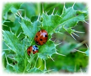 13th Nov 2020 - Hibernating Ladybirds