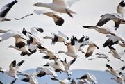 13th Nov 2020 - Snow Geese In bosque Del Apache.