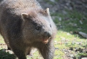 12th Nov 2020 - One hungry Wombat