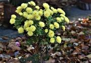 13th Nov 2020 - Mini chrysanthemum