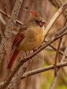 13th Nov 2020 - Northern Cardinal