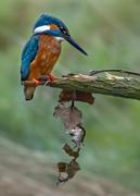 13th Nov 2020 - kingfisher