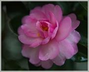 11th Nov 2020 - LHG-4422- camellia