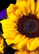 13th Nov 2020 - LHG-4489-sunflower