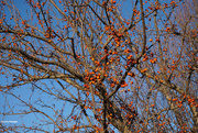 13th Nov 2020 - Leaves are gone but the crabapples still remain