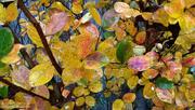 12th Nov 2020 - Painted fall crepe myrtle leaves...