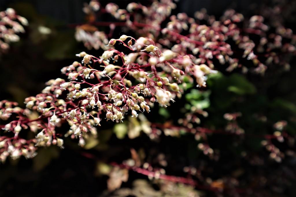 Heuchera Flowers by sandradavies