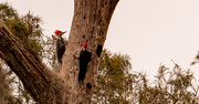 13th Nov 2020 - Pileated Woodpeckers!