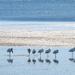 Nine royal spoonbills, nine legs by maureenpp