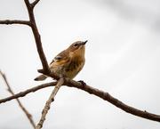 13th Nov 2020 - Yellow-rumped Warbler