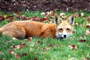 13th Nov 2020 - Red Fox