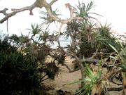 14th Nov 2020 - The beach through the trees Coolum Beach Series