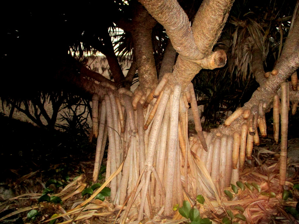 Pandanas Roots on the bank  Coolum Beach series by 777margo