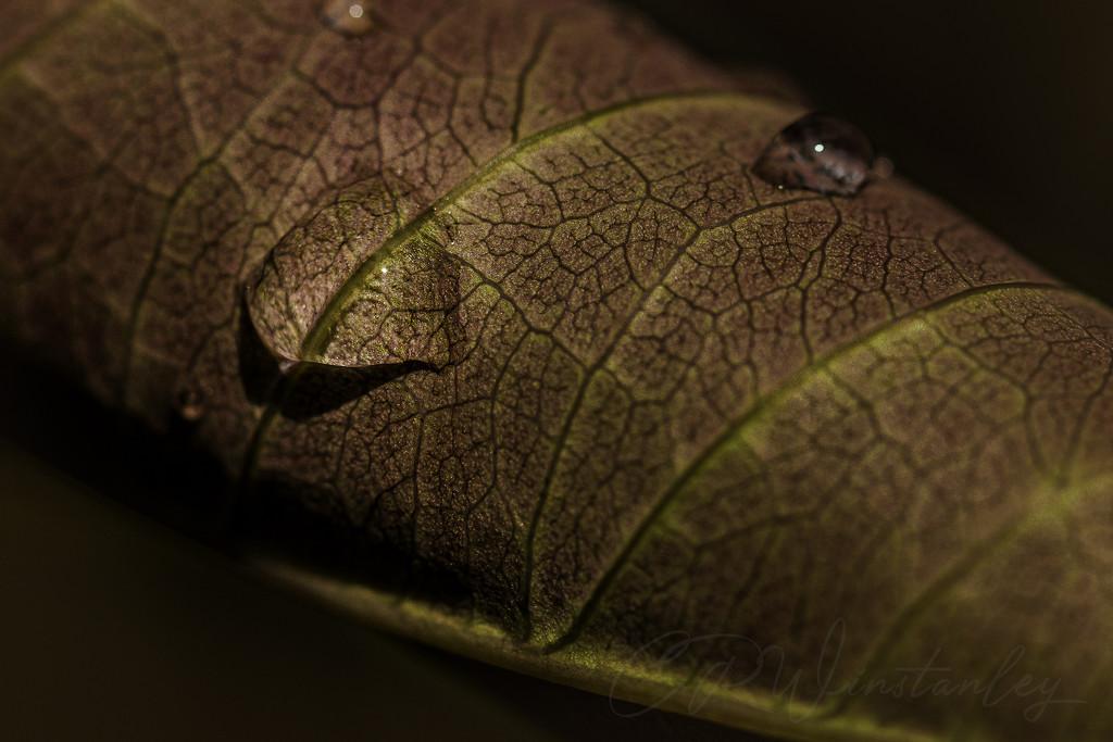 Underside of a rolled up Rose leaf. by kipper1951