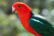 14th Nov 2020 - King parrot