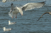 14th Nov 2020 - Gull arrival