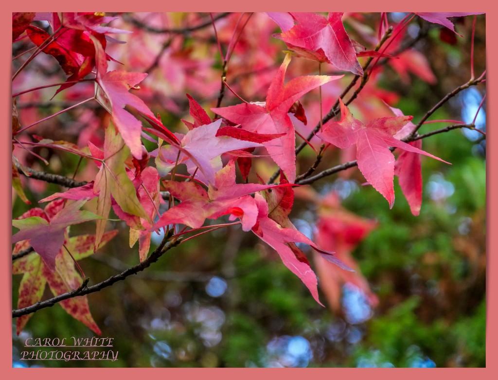 Leaves And Bokeh by carolmw