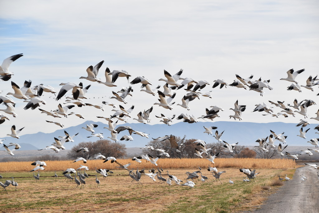Sandhill Cranes and Snow Geese by bigdad