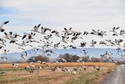 14th Nov 2020 - Sandhill Cranes and Snow Geese