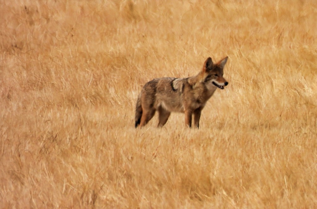 Coyote by janeandcharlie