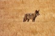 14th Nov 2020 - Coyote