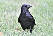 14th Nov 2020 - Old crow