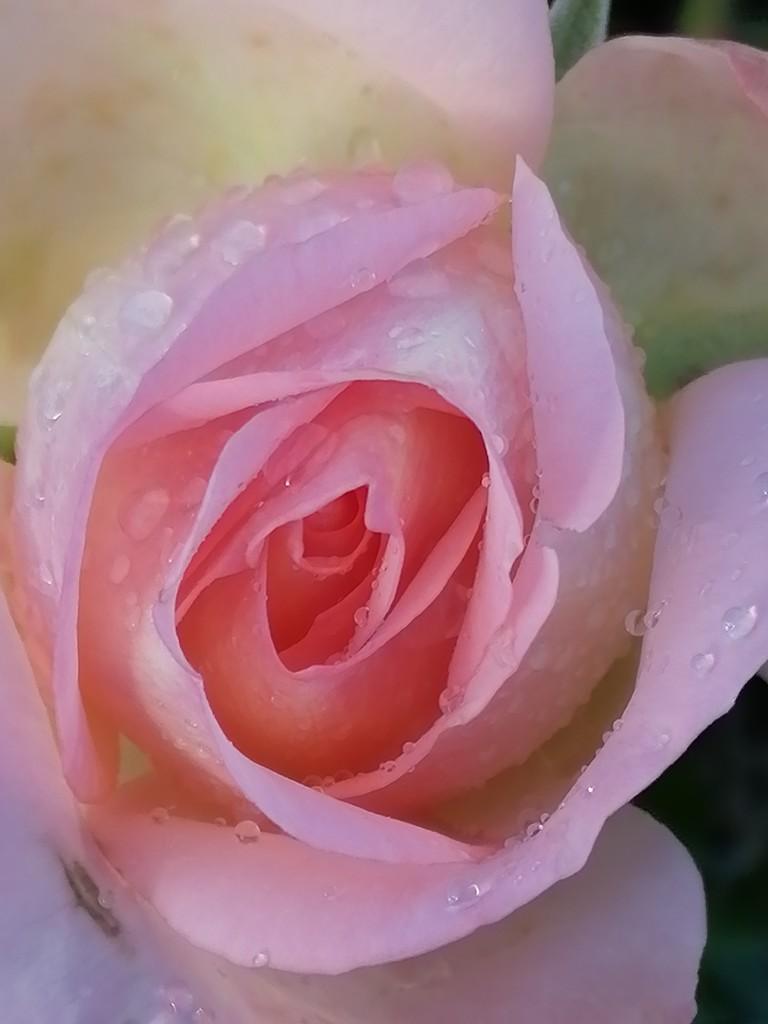 Rosebud and raindrops  by flowerfairyann