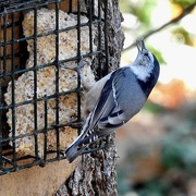 13th Nov 2020 - White-breasted Nuthatch