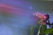 14th Nov 2020 - Roses...