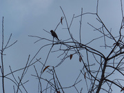 14th Nov 2020 - Chirping From Above