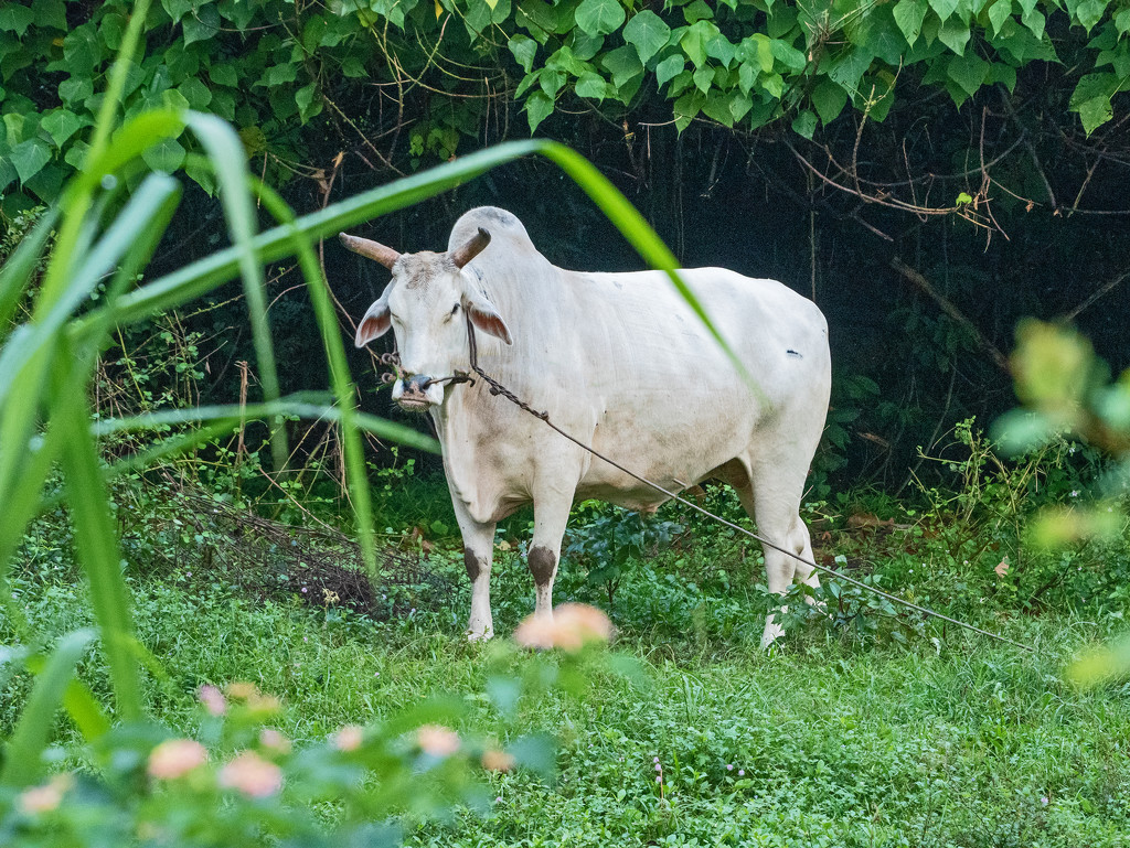 Urban Cattle by ianjb21