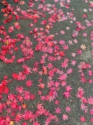 15th Nov 2020 - Pink leaves.