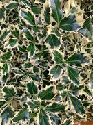 15th Nov 2020 - Green leaves.