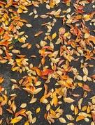 15th Nov 2020 - Orange and yellow leaves.