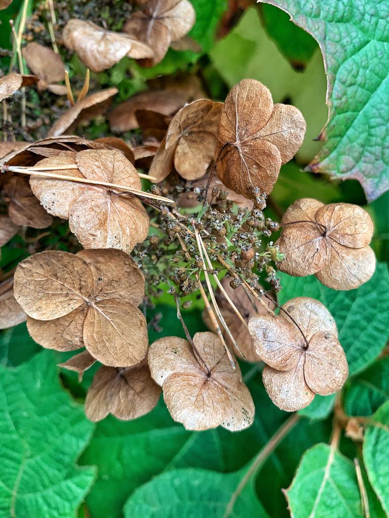 Dried hydrangeas.  by cocobella