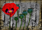 15th Nov 2020 - Poppy and textures